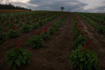 Flower fields on the hills around Biei, Hokkaido, Japan