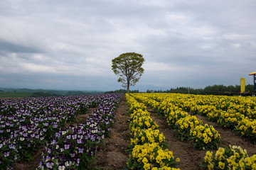 Lonely tree in a flower field on the hills of Biei, Hokkaido, Japan