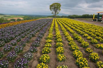Lonely tree in a flower field on the hills of Biei, Hokkaido, Japan