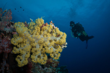Diver looking at a coral