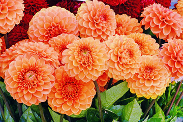 Orange dahlia flowers closeup
