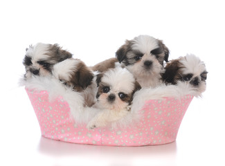 five shih tau puppies in a dog bed