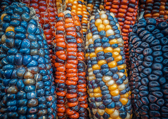 Indian colored corn background