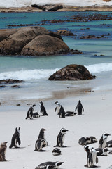 Boulders Penguin Colony, African Penguins in  Boulders Beach, Cape Peninsula, South Africa
