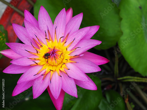 Large spike long violet purple gradient petal with yellow pollen large spike long violet purple gradient petal with yellow pollen water lily lotus above red clay mightylinksfo