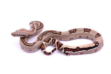 Boa constrictor imperator Pastel Stripe