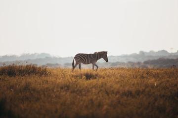 Zebra on safari in South Africa.