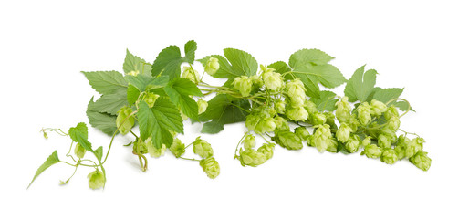 Panorama of branches of hops with leaves and seed cones