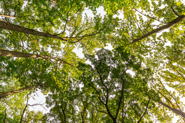 Looking up into the forest canopy during the late summer.