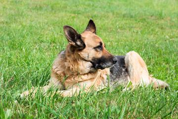A bored German Shepherd dog lying in grass