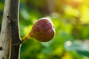 Fig fruit are growing on tree.