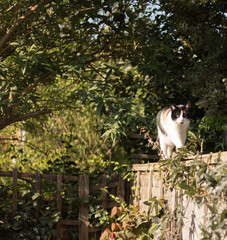 A cat with green eyes walks along a wooden fence surrounded by green trees and leaves. This is a small green world.