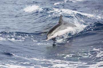 Delfin vor Sao Miguel (Azoren)