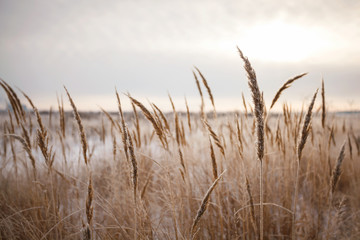 Photo of wild wheat spikelets in field.