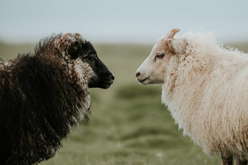 Portrait of Black and White Sheep in Iceland looking at each other
