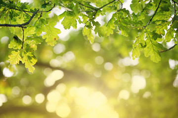 Oak leaves silhouette in autumn with beautiful sunlight
