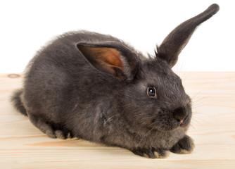 close-up black rabbit