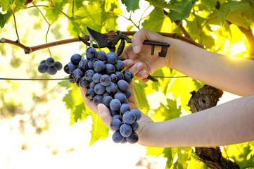 Grape harvest for wine production