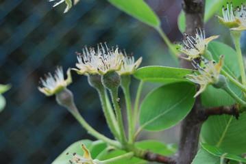Birnenblüten mit kleinen Birnen - Birnenbaum (Pyrus)
