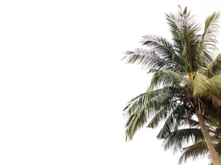 Coconut tree isolated in white background