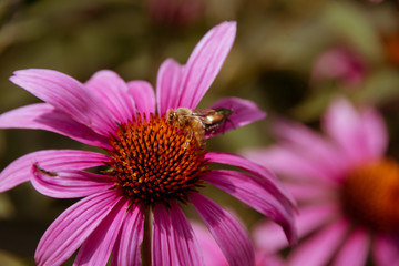 Small bee sitting on a purple flower