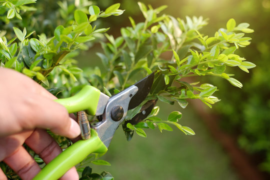 pruning green plants with pruning shears in garden