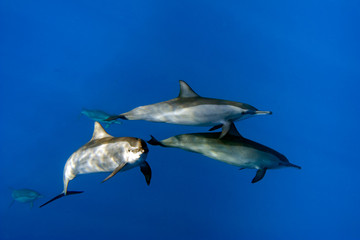 group of Dolphins Underwater Close encounter