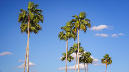 Florida Palm Trees Blowing in Wind Against Blue Sky