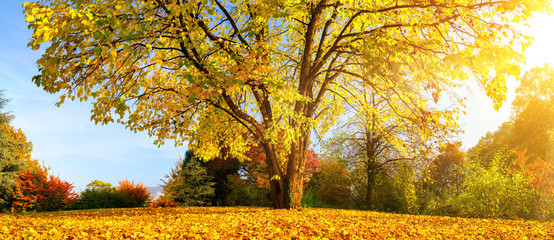 Schöner Baum an einem sonnigen Herbsttag im Panorama Format