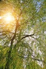 arbre, saule pleureur (Salix babylonica)