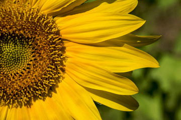 sunflower no. 101