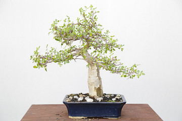 Bursera speciosa bonsai on a wooden table and white background