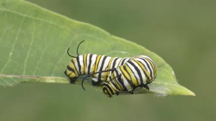 Fotoväggar - Monarch Butterfly Caterpillar (danaus plexippus) on a milkweed leaf
