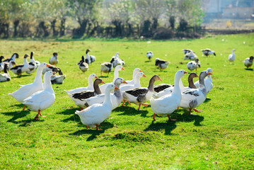 The herd of white adult geese grazing at the countryside on the