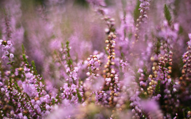 clump of heather