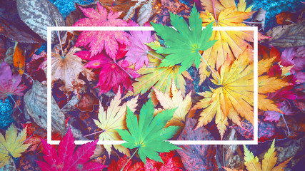 Wall Mural - Background of white frame and colorful maple leaves in autumn.