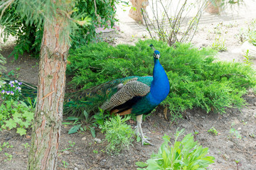 A handsome, proud male peacock walks through the summer park.