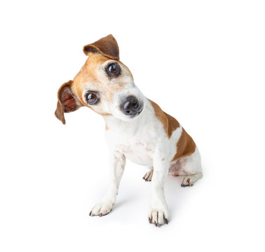 Adorable curious dog sitting on white background. Pet theme. Funny pup