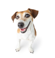 Happy smiling dog portrait . White background. gazing cheerfully at the camera