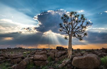 Keuken foto achterwand Chocoladebruin The quiver tree, or aloe dichotoma, Keetmanshoop, Namibia