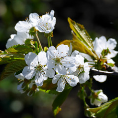 White flowers of sweet cherry on a dark background.
