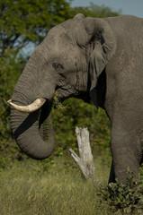 Male Elephant eating nuts closeup on head Bull