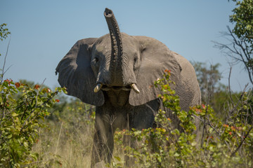 Elephant in brush trunk raised in alarm