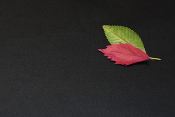 green and red elm tree leaves on black background