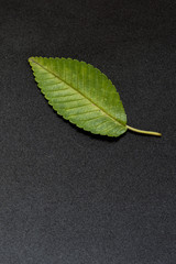 green leaf of elm tree on black background