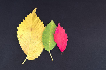 red, green and orange leaves of elm tree on grey background