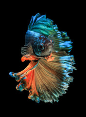 Poster de jardin Poisson Betta fish