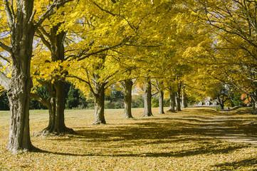 Sugar Maple Trees in Autumn