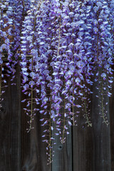 Wisteria hanging down a garden fence