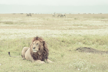 Lion King of Africa